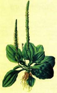 Семена подорожника