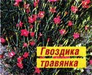 полевой гвоздике