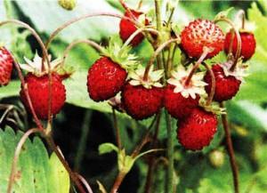плоды и листья земляники