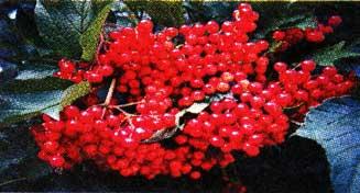 плодов калины