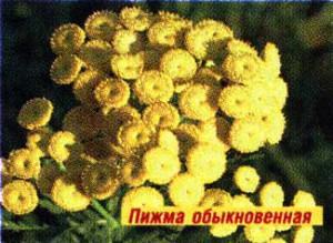 из цветков пижмы