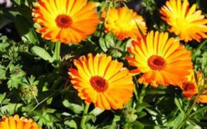 из цветков календулы