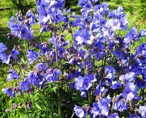 корней синюхи голубой