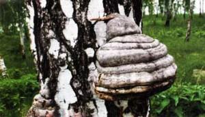 Чага - это гриб-паразит