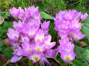 цветки безвременника