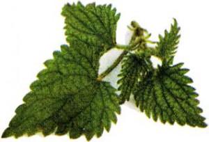 листьев крапивы