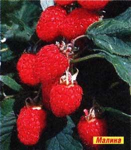 ягод малины