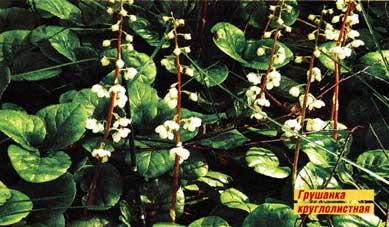 Листья грушанки