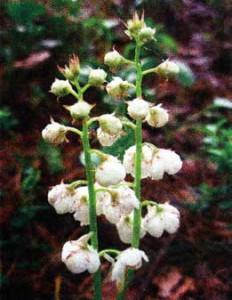 цветы грушанки