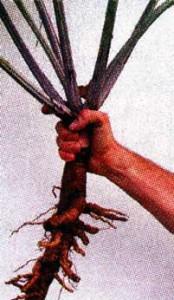 настойку из корней лопуха
