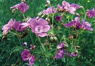 Цветок Богородицы