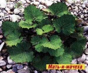 высушенные листья мать-и-мачехи
