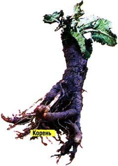 корней лопуха