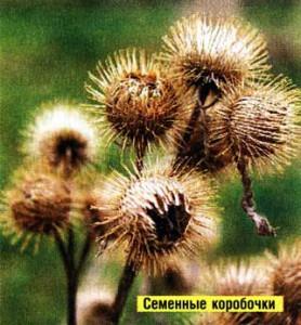 семян лопуха