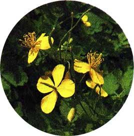 Чистотел - растение ядовитое