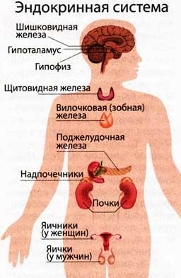работы эндокринной системы