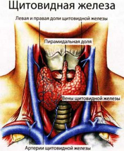 работу щитовидной железы
