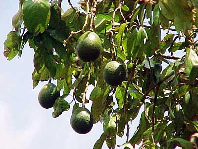 авокадо называют
