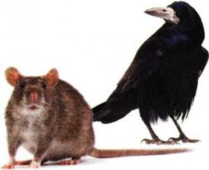 крысы и вороны