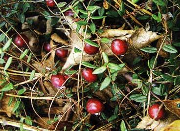 урожай клюквы