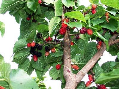 шелковичных деревьях