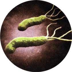 бактерию Helicobacter pylori