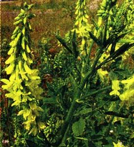 травы донника