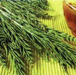 травы полевого хвоща