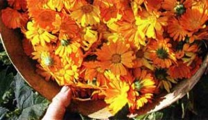 цветков календулы