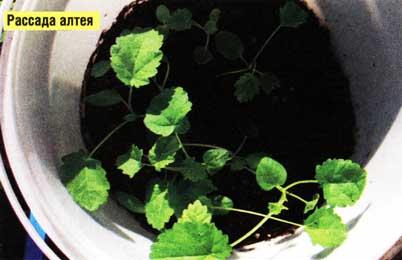 Выращивать алтей