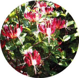 цветков жимолости