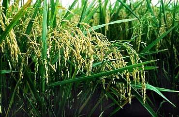 рис выращивают