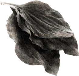 листья подорожника