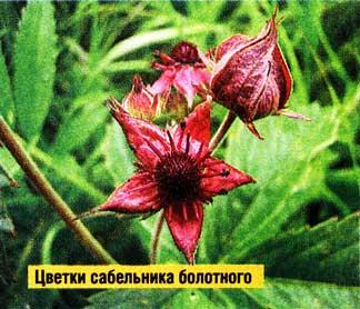 Цветки у сабельника
