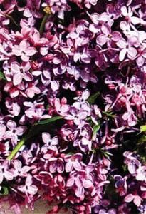 цветки сирени