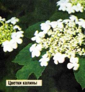 цветков калины