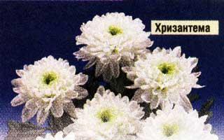 Отцвели хризантемы в саду