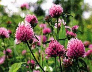 цветками красного клевера