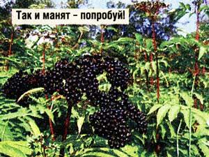 ягоды травянистой бузины