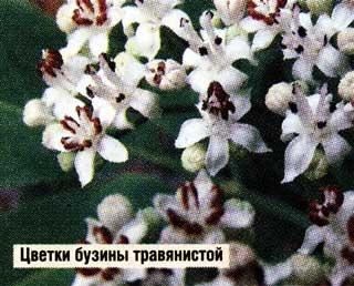Цветет бузина