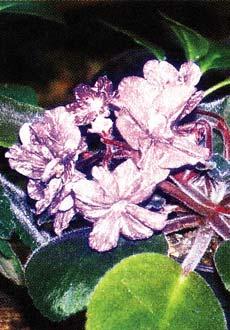 Фиалка с цветками