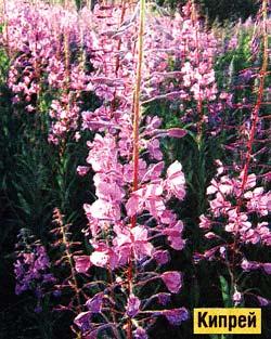 цветущий кипрей