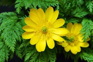 цветки адониса