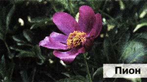 цветков пиона лекарственного