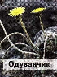 корней одуванчика