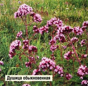 травы душицы