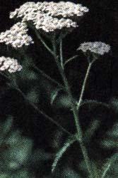 травы тысячелистника