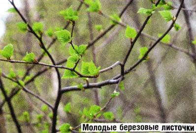 березовых листочков