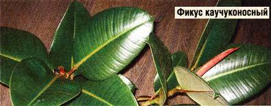 листочки фикуса