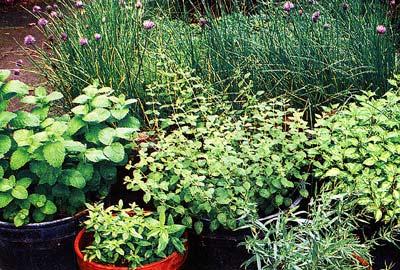 Пряный огород